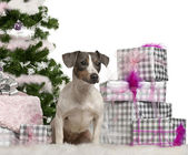 Jack Russell Terrier, sitting with Christmas tree and gifts in front of white background — Stock Photo