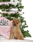 Japanese Spitz puppy, 4 months old, sitting with Christmas tree and gifts in front of white background — Stock Photo