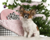 Papillon, 7 months old, sitting with Christmas tree and gifts — Stock Photo