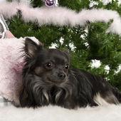 чихуахуа, 18 месяцев, лежа с рождественских подарков у елки — Стоковое фото