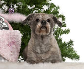 Havanese, 12 years old, lying with Christmas gifts in front of white background — Stock Photo