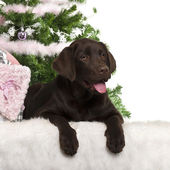Labrador Retriever puppy, 5 months old, lying with Christmas gifts in front of white background — Stock Photo