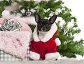 Chihuahua, 7 months old, wearing Santa outfit with Christmas gifts in front of white background — Stock Photo
