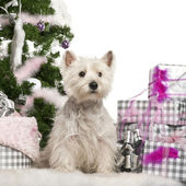 West Highland White Terrier, 2 years old, sitting with Christmas tree and gifts in front of white background — Stock Photo