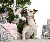 Jack Russell Terrier, 10 old, sitting with Christmas tree and gifts in front of white background — Stock Photo
