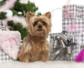 Yorkshire Terrier, 1 year old, sitting with Christmas tree and gifts in front of white background — Stock Photo