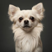 Chihuahua, 18 months old, in front of white background — Stock Photo