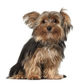 Yorkshire Terrier, 8 months old, sitting in front of white background — Stock Photo
