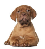 Dogue de Bordeaux puppy, 8 weeks old, lying in front of white background — Stock Photo