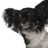 Crossbreed dog in front of white background — Stock Photo