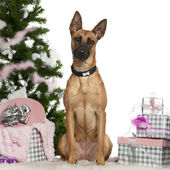 Belgian Shepherd Dog, Malinois, 1 year old, with Christmas tree and gifts in front of white background — Stock Photo