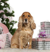 English Cocker Spaniel, 4 years old, with Christmas tree and gifts in front of white background — Stock Photo