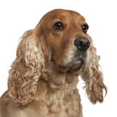 English Cocker Spaniel, 4 years old, in front of white background — Stock Photo