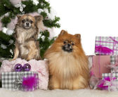 Pomeranian, 2 years old, and Chihuahua, 4 years old, with Christmas tree and gifts in front of white background — Stock Photo