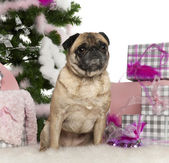 Pug, 4 years old, with Christmas tree and gifts in front of white background — Stock Photo