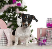 Jack Russell Terrier, 9 months old, with Christmas tree and gifts in front of white background — Stock Photo