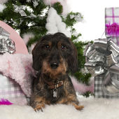 Dachshund, 12 months old, with Christmas tree and gifts in front of white background — Stock Photo