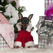 Chihuahua, 4 meses de edad, con árbol de navidad y regalos de frente fondo blanco — Foto de Stock