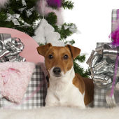 Jack Russell Terrier, 2 years old, with Christmas tree and gifts in front of white background — Stock Photo