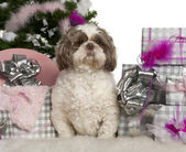 Shih Tzu, 3 years old, with Christmas tree and gifts in front of white background — Stock Photo