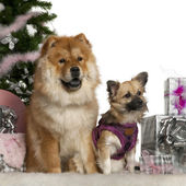 Chow Chow, 1 year old, with Mixed-breed puppy, 6 months old, with Christmas tree and gifts in front of white background — Stock Photo