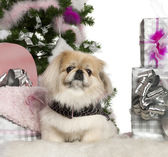 Pekingese, 6 years old, with Christmas tree and gifts in front of white background — Foto de Stock
