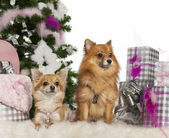 Chihuahua, 3 years old, with Pomeranian, 2 years old, with Christmas tree and gifts in front of white background — Stock Photo