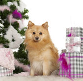 Pomeranian, 18 months old, with Christmas tree and gifts in front of white background — Stock Photo