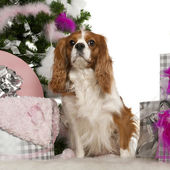 Cavalier King Charles Spaniel, 3 years old, with Christmas tree and gifts in front of white background — Stock Photo