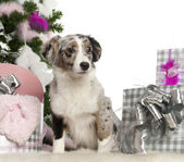 Miniature Australian Shepherd puppy, 5 months old, with Christmas tree and gifts in front of white background — Stock Photo
