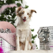 Miniature Australian Shepherd puppy, 1 year old, with Christmas tree and gifts in front of white background — Stock Photo