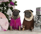Pugs, 6 years and 3 years old, with Christmas tree and gifts in front of white background — Stock Photo
