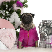 Pug, 3 years old, with Christmas tree and gifts in front of white background — Stock Photo