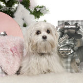 Maltese, 7 months old, with Christmas tree and gifts in front of white background — Stock Photo