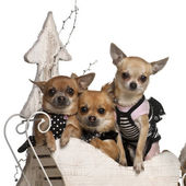 Chihuahuas, 3 years old and 1 year old, in Christmas sleigh in front of white background — Foto Stock