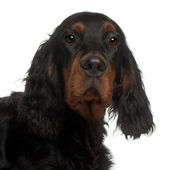 Gordon Setter puppy, 6 months old, in front of white background — Stock Photo