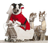 Jack Russell Terrier, 7 year old, in Christmas sleigh in front of white background — Stock Photo