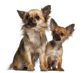 Chihuahuas, 8 months old, in front of white background — Stock Photo