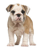 English Bulldog puppy, standing, 2 months old — Stock Photo