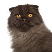 Portrait of Scottish Fold cat, 5 months old, in front of white background — Stock Photo