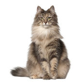 Portrait of Norwegian Forest Cat, 1 and a half years old, sitting in front of white background — Stock Photo