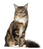 Portrait of Maine Coon cat, 10 months old, sitting in front of white background — Stock Photo