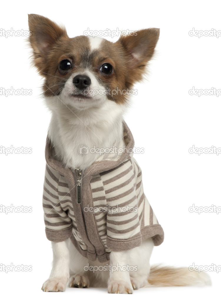 Chihuahua wearing striped jacket, 11 months old, sitting in front of white background — Stock Photo #10900318