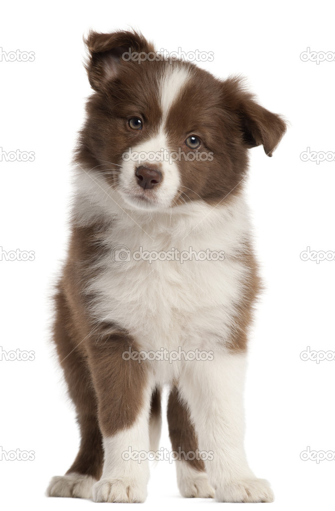 Border Collie puppy, 8 weeks old, standing in front of white background — Stock Photo #10901320