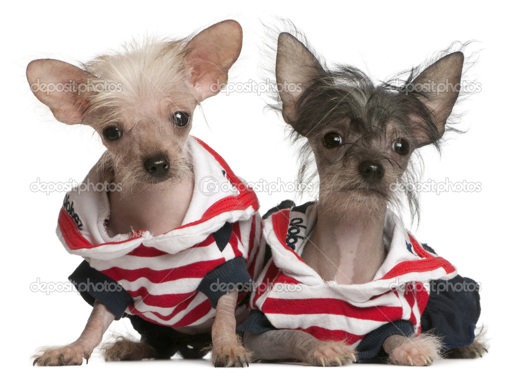 Chinese Crested 4 Months Chinese Crested puppy  4