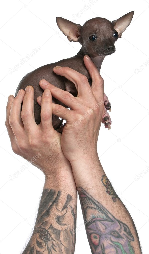 Man With Tattoos On Arms Holding Chihuahua Puppy 6 Months Old In