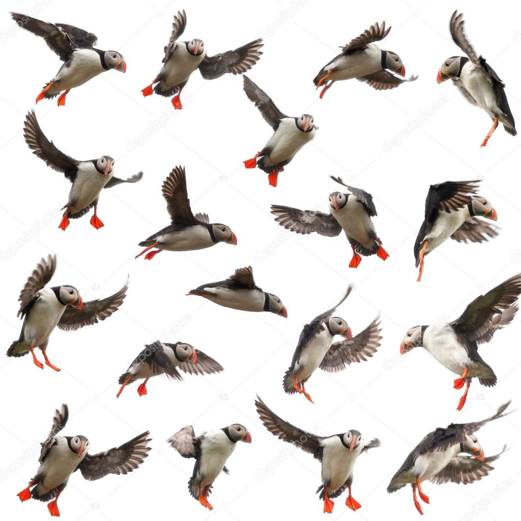 Collection of Atlantic Puffin or Common Puffin, Fratercula arctica, in flight in front of white background — Stock Photo #10903902