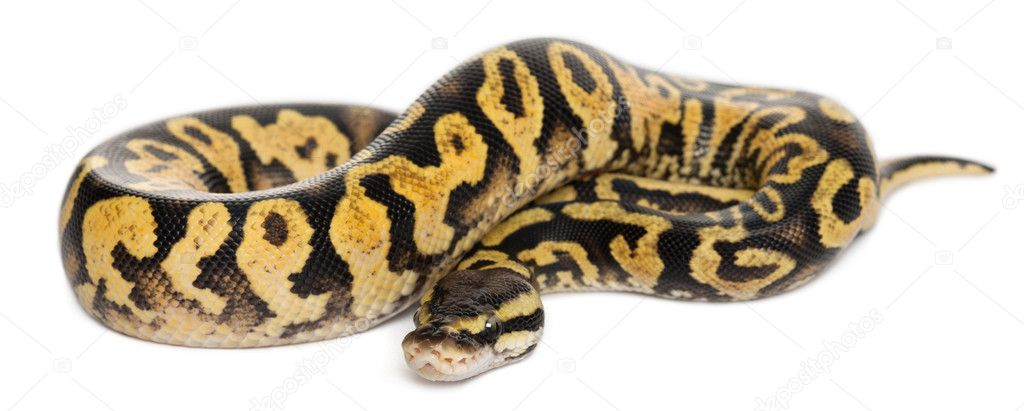Female Pastel calico Python, Royal python or ball python, Python regius, in front of white background — Stock Photo #10904015