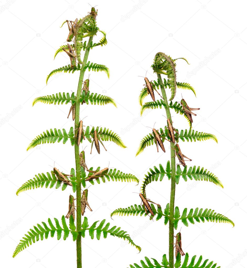 Woodland Grasshoppers, Omocestus rufipes, on fern in front of white background  Stock Photo #10904373