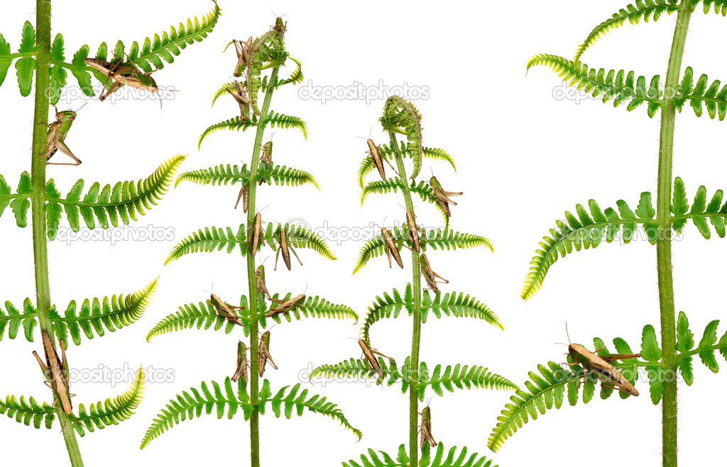 Woodland Grasshoppers, Omocestus rufipes, on fern in front of white background — Stock Photo #10904390